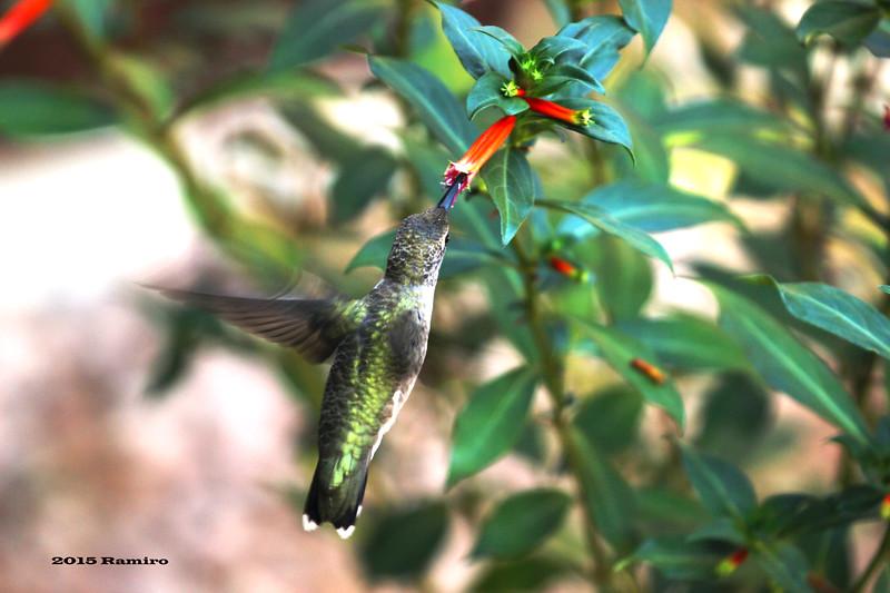 Hummingbird 6-14-15 115.jpg