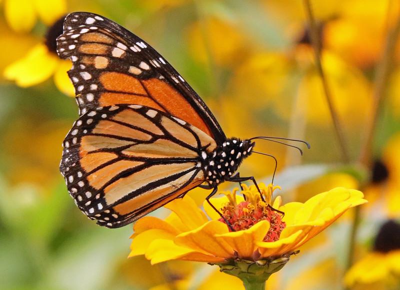 Monarch 52