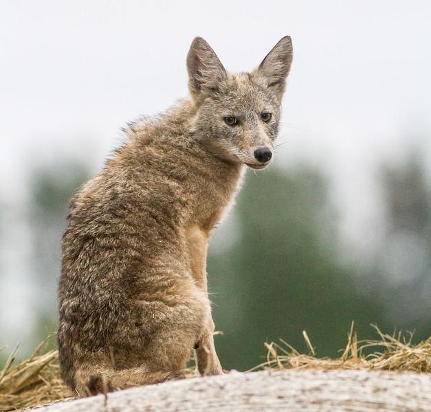 Coyote pup juvenile young on hay bale McDavitt Road Bog BioBlitz VI FOSZB Sax-Zim Bog MNIMG_0108.jpg