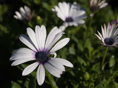 Osteospermum - Passion Mix