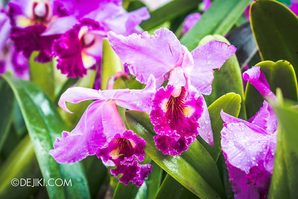 Gardens by the Bay - Orchid Extravaganza 2018 / Taiwan Lucky Star