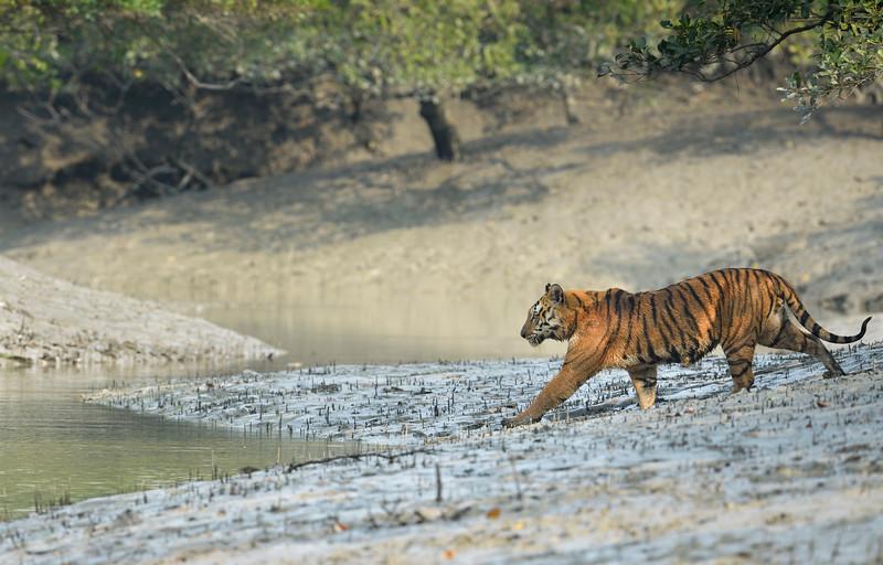 Master-of-the-mangroves-Tiger-Sundarbans.jpg