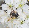 bee mimic fly on beach plumb flowers