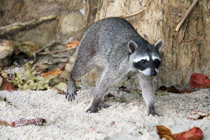 raccoon at the beach