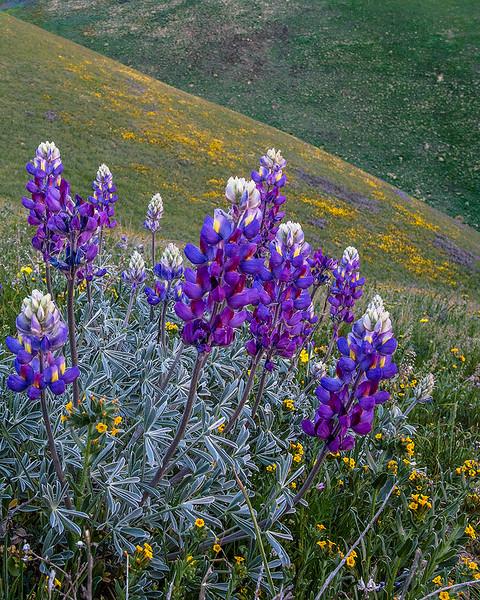Wildflowers Gorman 2015 vert.jpg