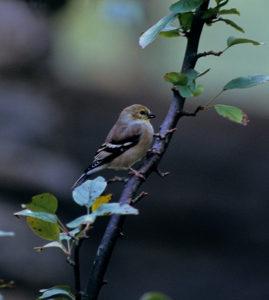 American Gold Finch (female) at Burnet Woods, Cincinnati, OH