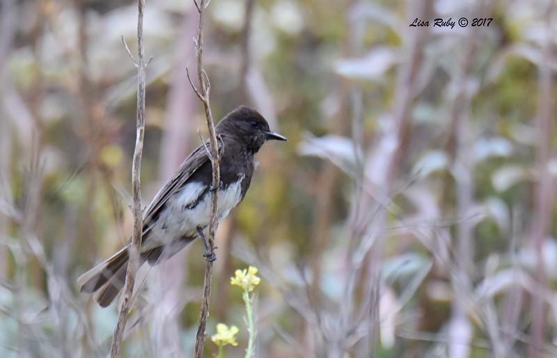 Black Phoebe - 6/11/-2017 - Lake Hodges, Bernardo Bay Trail
