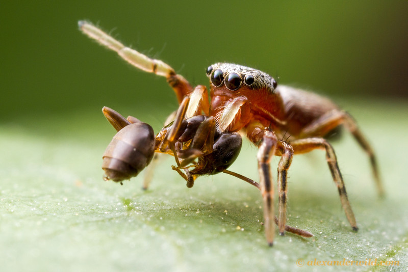 This small jumping spider (Tutelina sp.) has caught an odorous house ant (Tapinoma sessile).