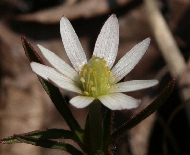 Anemone marlandica flower detail.jpg