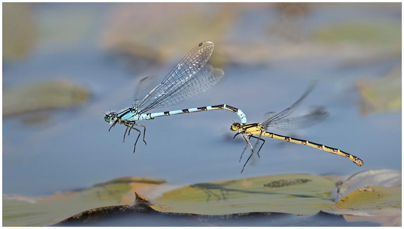 Common Blue damselflies tandem flight