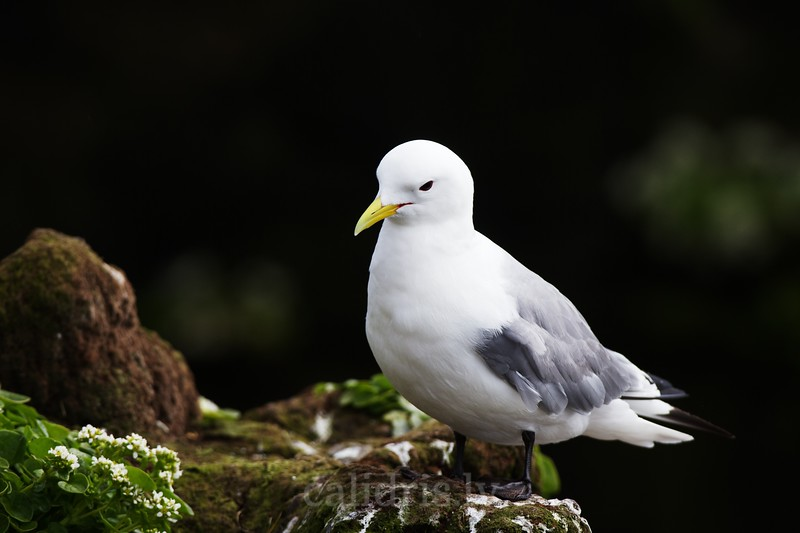 Black-legged kittiwake on a cliff