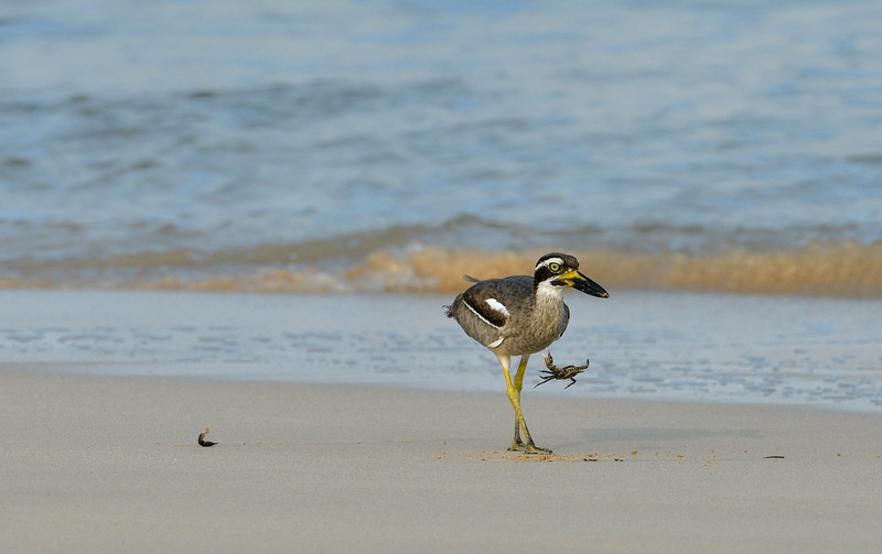 Beach-Thick-knee-with-crab-little-andaman-8.jpg
