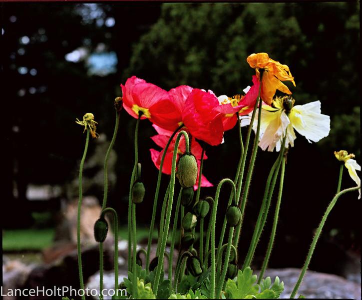 mamiya flowers
