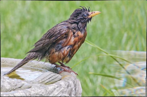 American Robin Vigorous bath