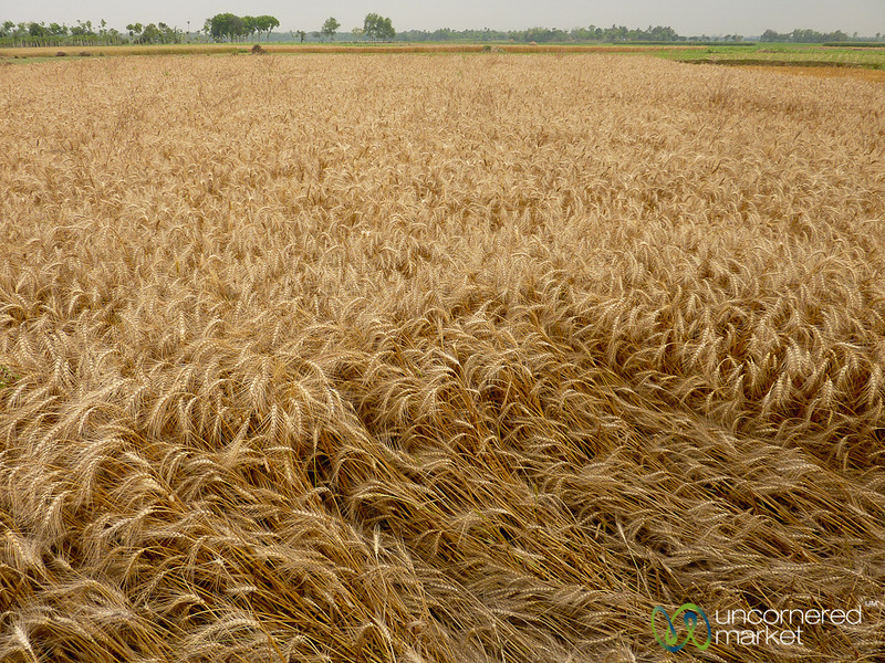Wheat Fields Outside Hatiandha, Bangladesh