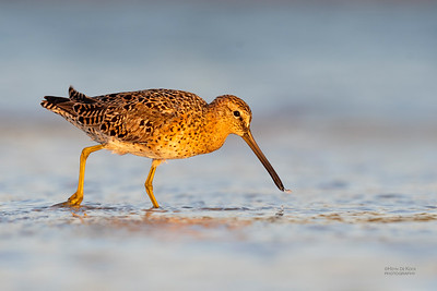 Short-billed Dowitcher (Limnodromus griseu)