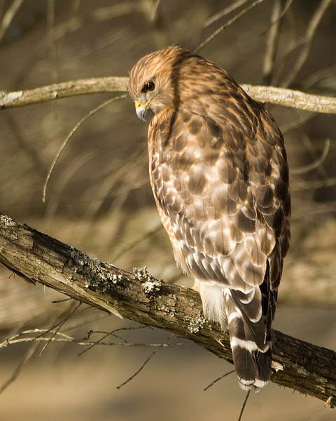 Red Shouldered Hawk Rear View in Winter