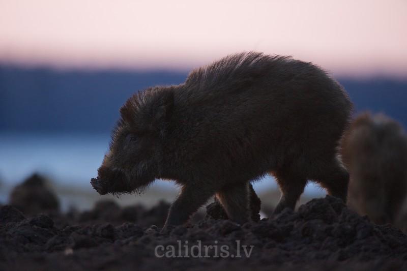 Young wild boar feeding in winter