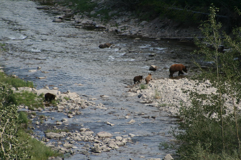 20110828 - 080 - GNP - Sow And 3 Bear Cubs Along Road By Many Glacier Hotel.JPG