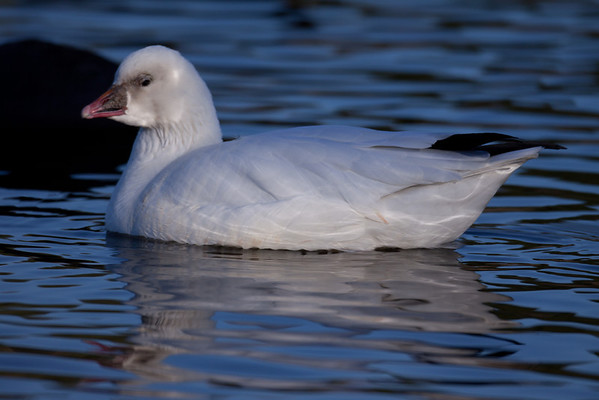 Ross's Goose Chen rossii