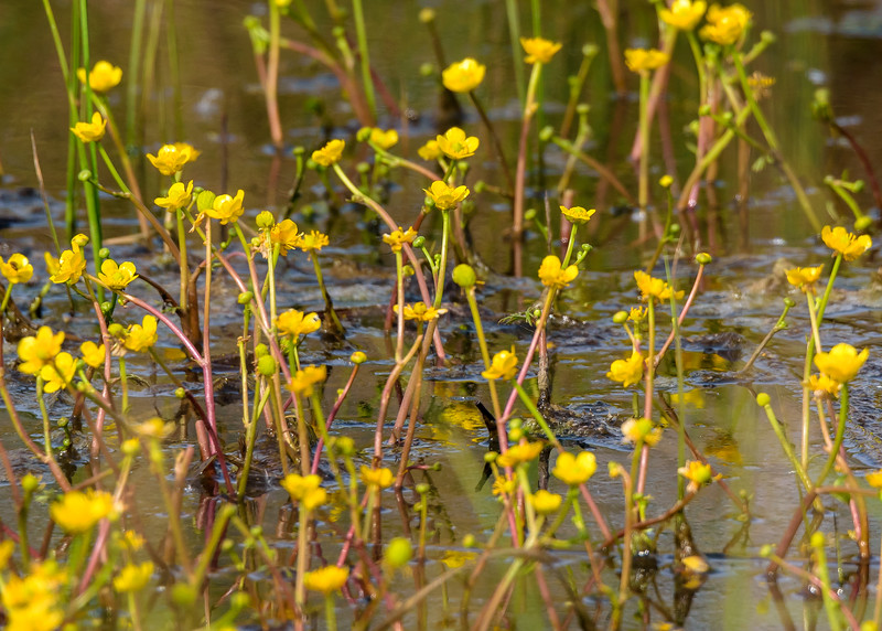 Yellow Water Buttercup at DuPont Natural Area, East Chicago, IN