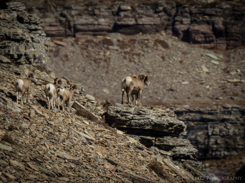Bighorn sheep - Glacier National Park