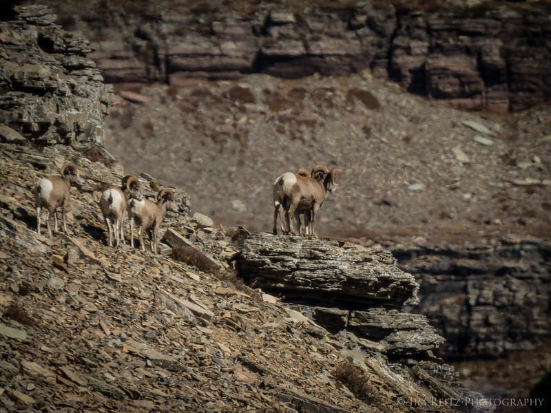 Bighorn sheep - Glacier National Park