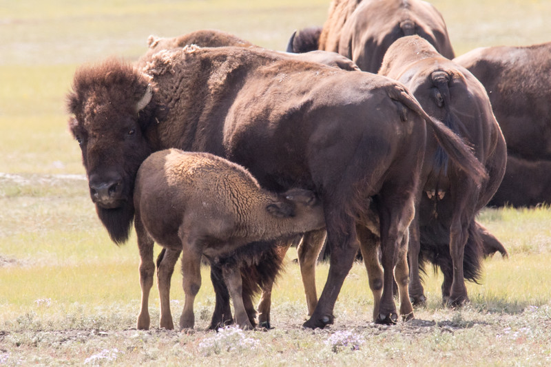 Bison Grasslands Canada 2019-5.jpg