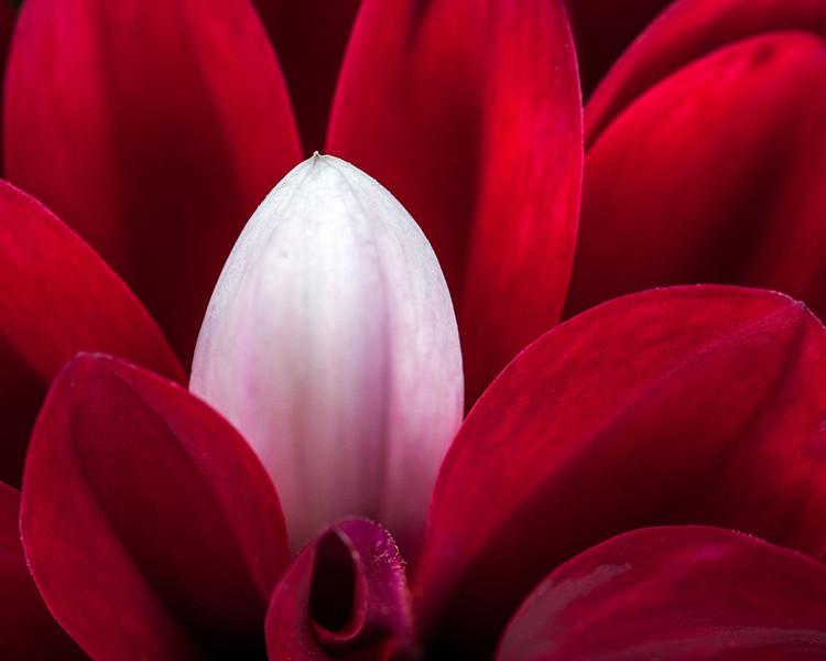 red-dahlia-white-petal.jpg