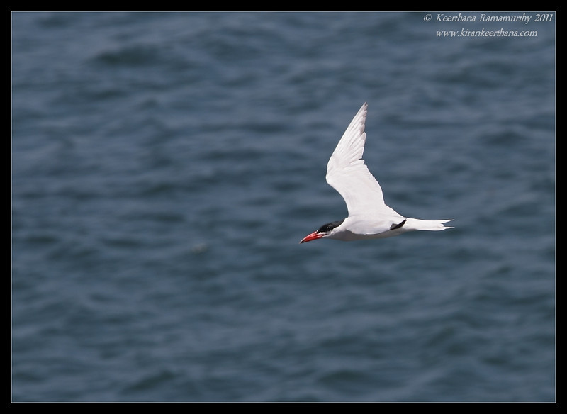 Caspian Tern, La Jolla Cove, San Diego County, California, June 2011