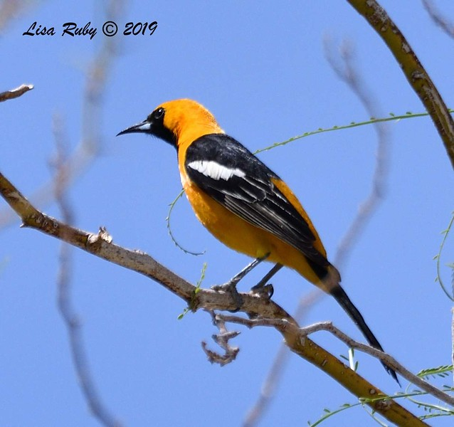 Hooded Oriole  - 4/14/2019 - Agua Caliente County Park Campground