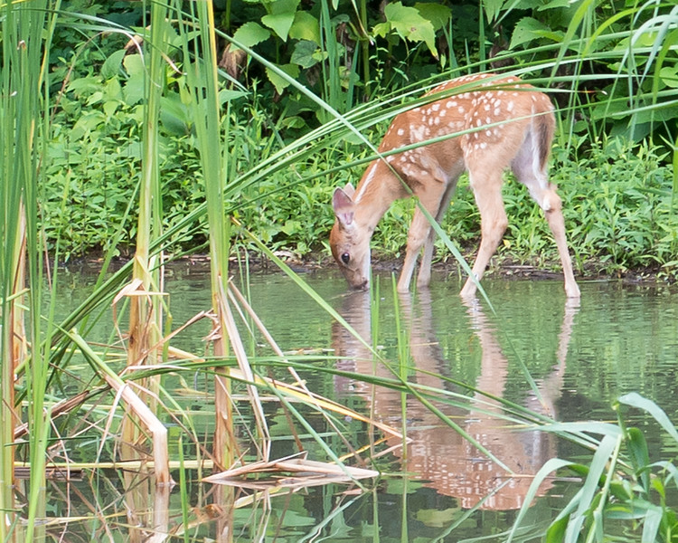 Fawn Drinking