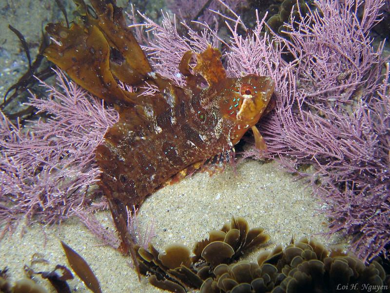 Loi nguyen  Spotted Kelpfish, Gibbonsia elegans Shaw's Cove, shallow waters November 13 Canon A95, internal flash