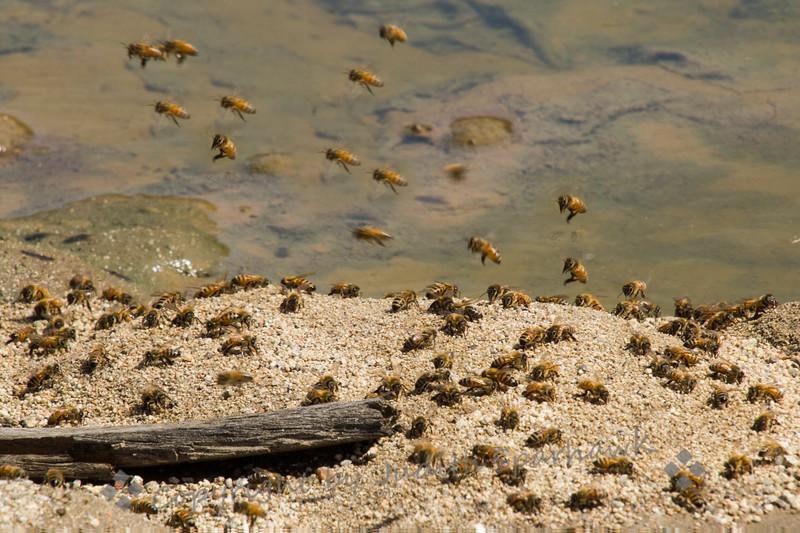 Bees! - Judith Sparhawk