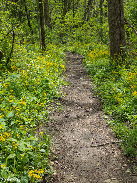 ragwort path 051316.jpg