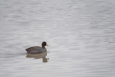 Rails, Gallinules and Allies