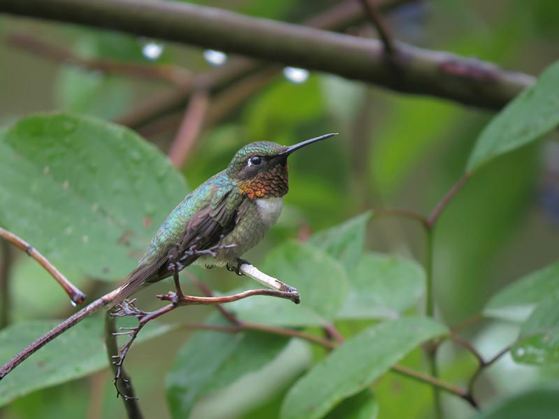 sx50_hummingbird_bit_245.jpg