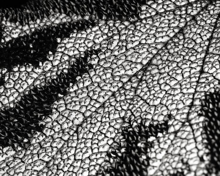 begonia rex leaf detail