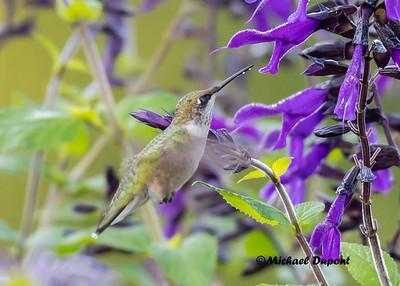 Meadowlark Gardens Hummingbirds