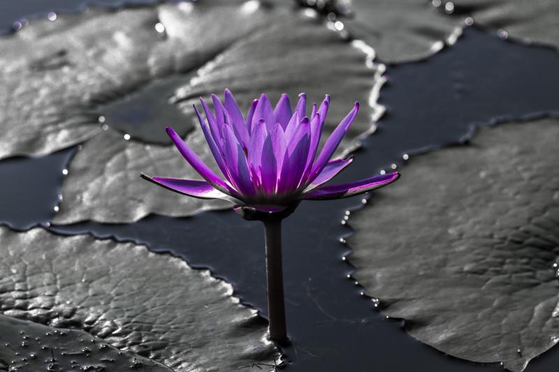 Lily  Pond 45