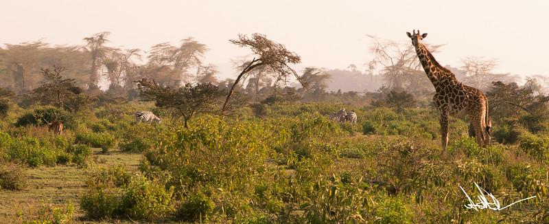Giraffes-15.jpg