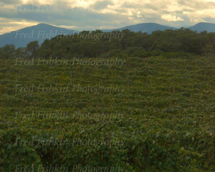 Heller Vineyard 2.jpg