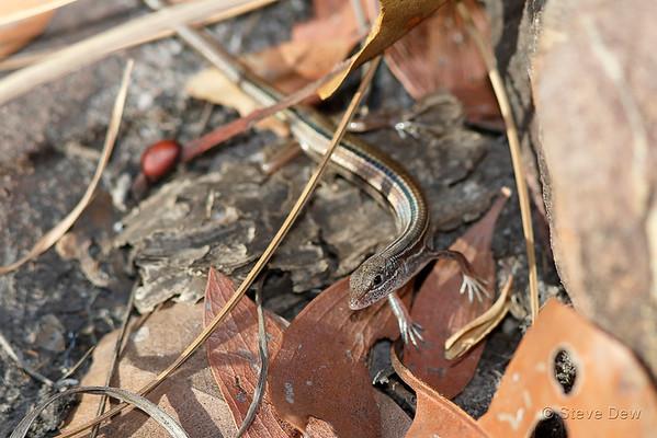Scant-striped Ctenotus