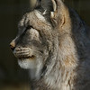 Utica Zoo lynx