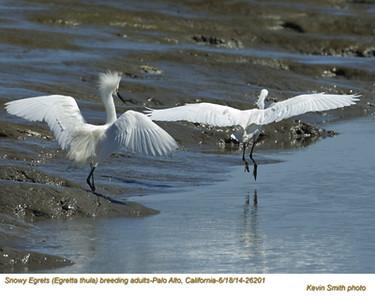 Snowy Egrets A26201.jpg