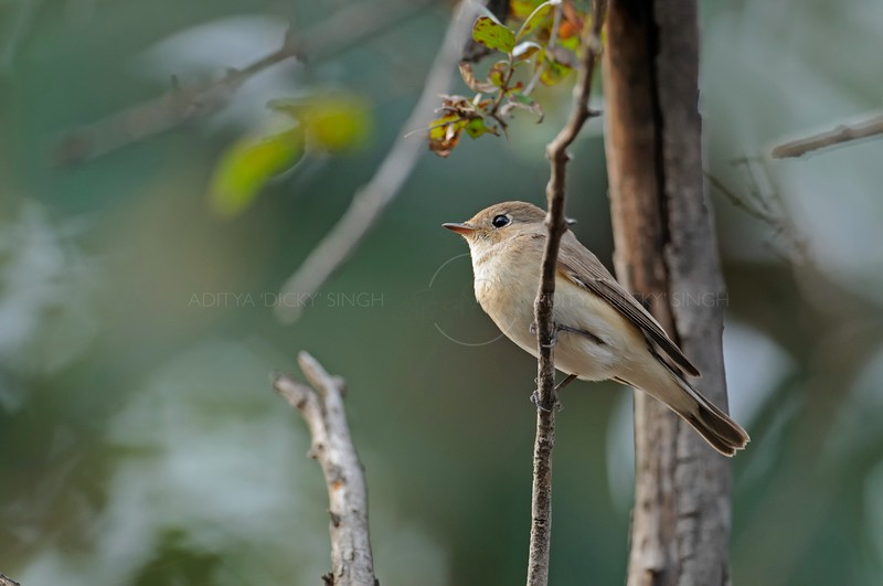Red-breasted Flycatcher (Ficedula parva) in Ranthambore national park, India