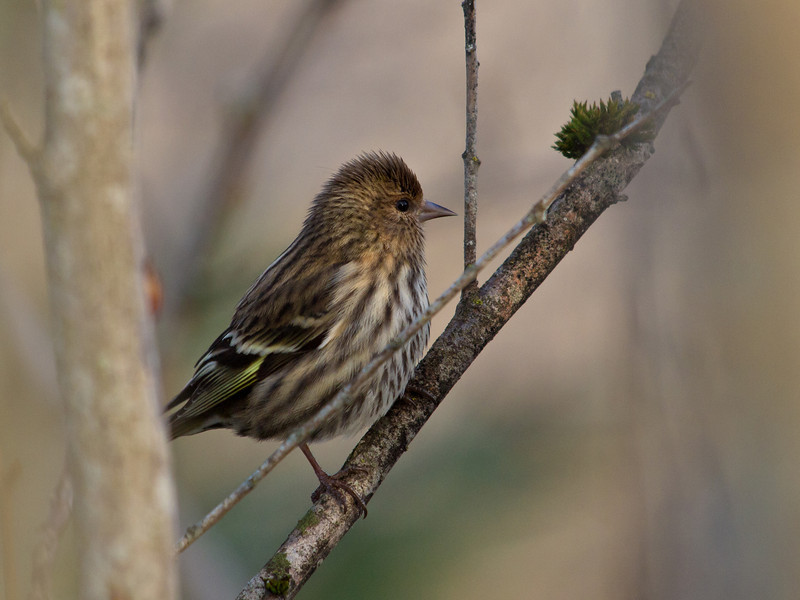 Pine siskin on the airport dike trail.