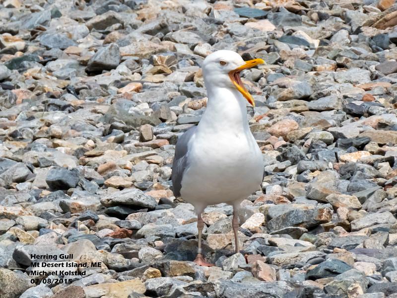 a708 1138 20150725_376 3T Herring Gull calling Mt Desert Island ME 708 1328.jpg