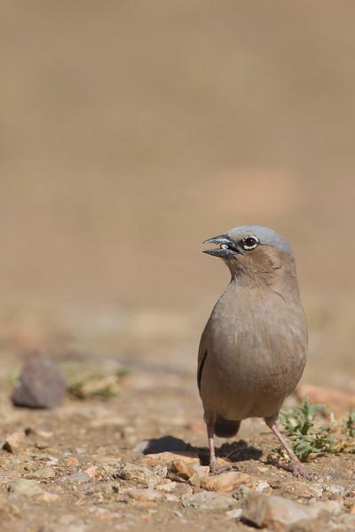 Grey-headed Social-Weaver - Serengeti National Park, Tanzania