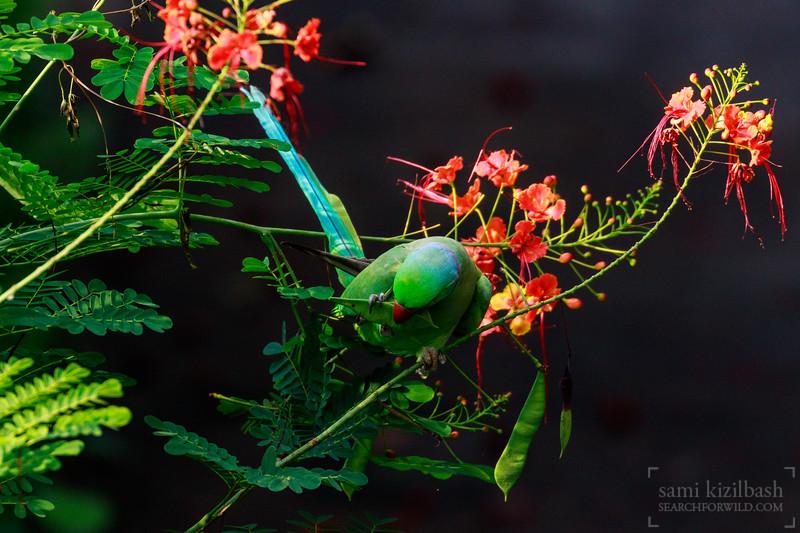 Rose-ringed Parakeet.jpg